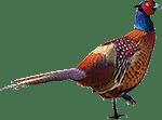 keunenhuis-fazant_rechts