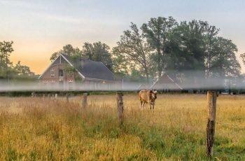 keunenhuis-s-morgens-dauw-2-koeien-4-mb-bijgesneden